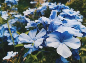 flors azules